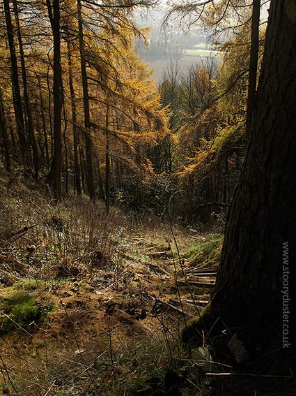 Steep stepped larch needled path: Scotland.