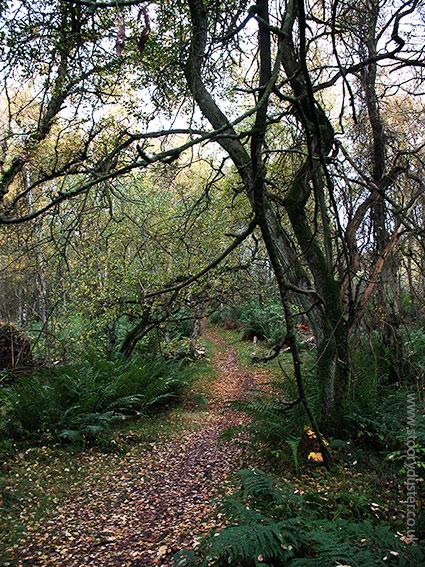 Autumn gold leaf strewn path: Scotland.
