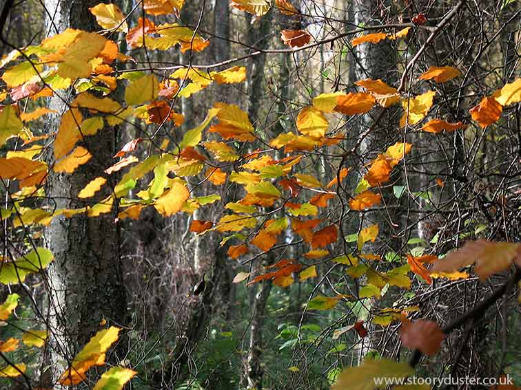 Autumn sunlit beech leaves: Scotland.