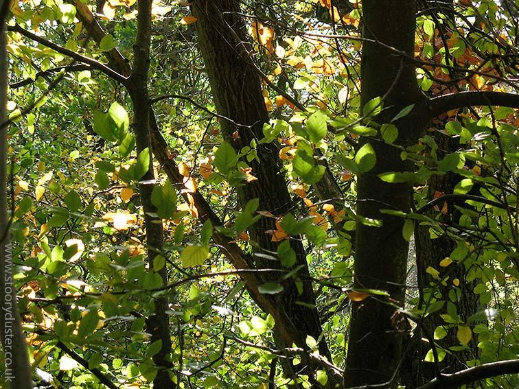 Green sunlit beech leaves on the turn: Scotland.