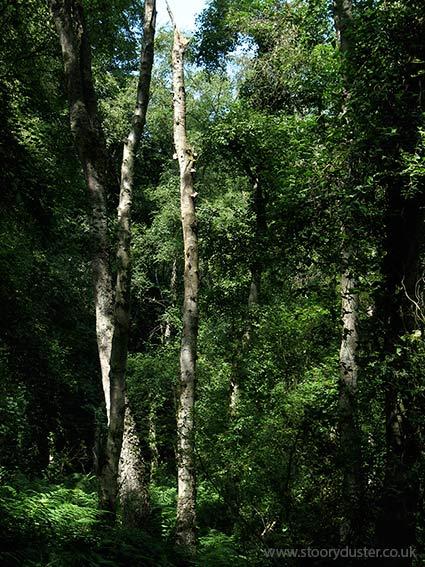Silver birch tree boles: Scotland.