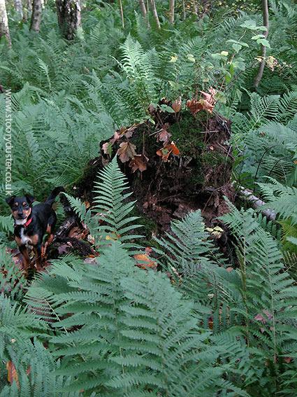 Cheeky dog in ferns: Scotland.