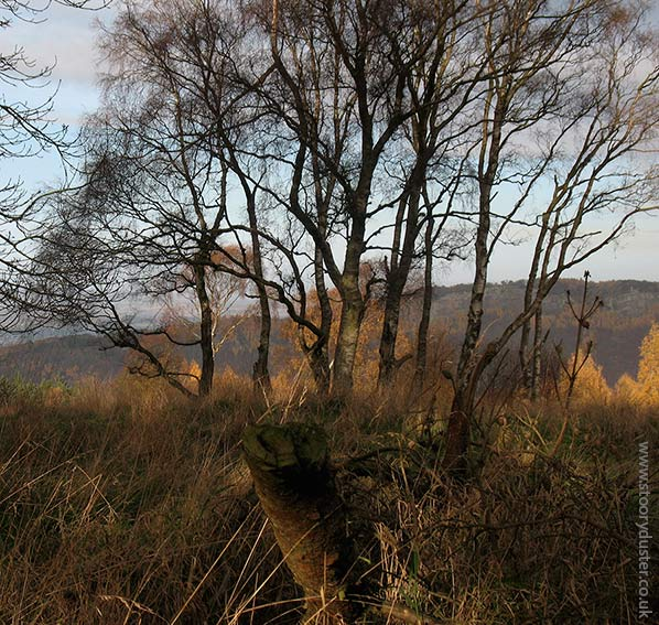Silver birch copse on its own: Scotland.