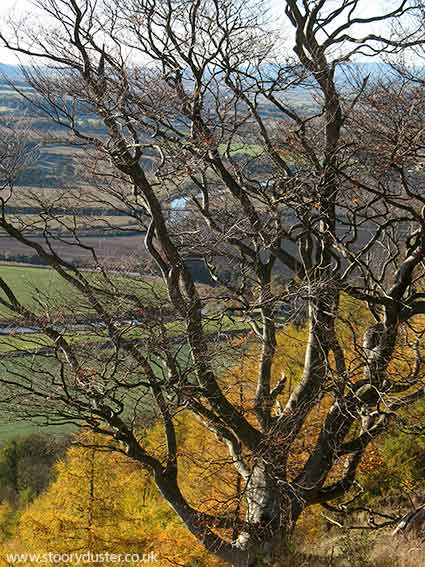 Bare Beech tree and river: Scotland.