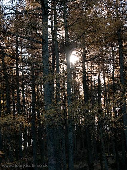 Backlit larch plantation: Scotland.