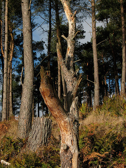 Scots pine trunks glowing: Scotland.