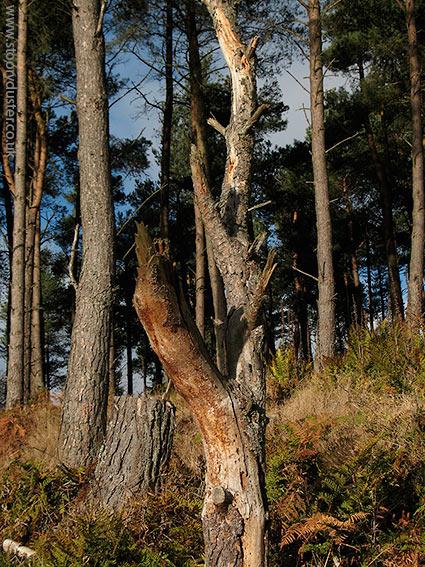 Scots pine trunks glowing: Scotland.