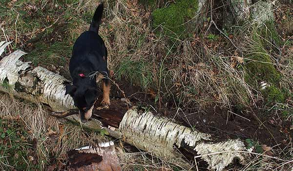 Dog leaping rotten birch log in the woods.