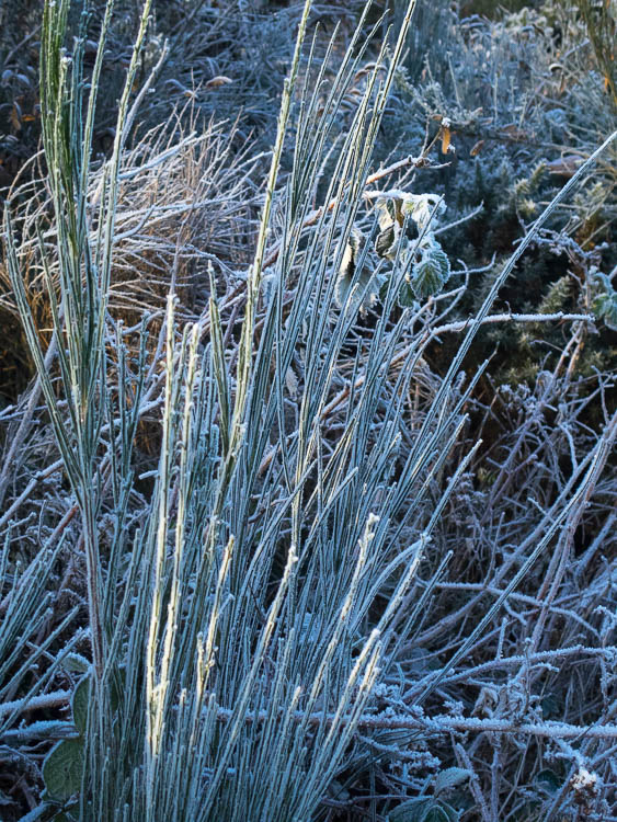Broom stems with ice crystals.