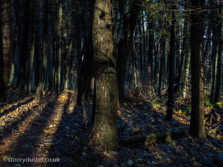 Pine plantation in low light.