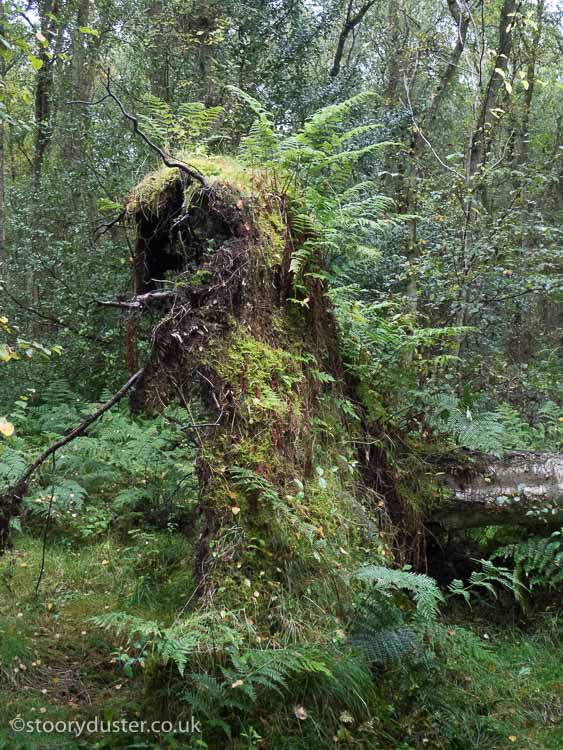 Root plate covered in ferns of a fallen still living birch tree.