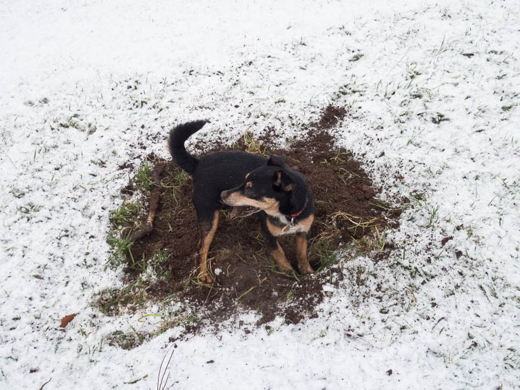 Dog digging for moles getting a mouthful of mud snow and grass - and no mole.