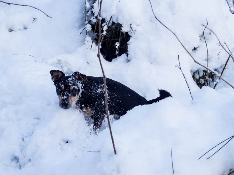 My terrier who loves the cold and the snow - digging and diving.